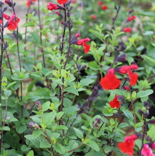 Salvia Royal Bumble x 2 Litre
